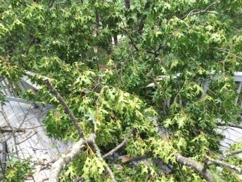 Oak tree on PT deck
